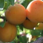 Beneficios del Albaricoque Para la Salud