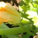 Uso del Calabacín Para la Belleza
