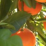 Uso de las Mandarinas en la Belleza
