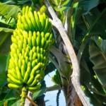 Uso del Plátano en la Belleza